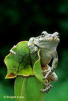 CA01-009z  Gray Tree Frog - on carnivorous pitcher plant - Hyla versicolor