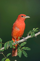 Summer Tanager, Piranga rubra, male on Guajillo (Acacia berlandieri), Willacy County, Rio Grande Valley, Texas, USA