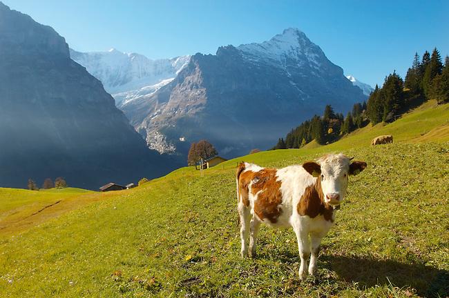 Alpine Cow with Eiger - Bernese Alps Switzerland