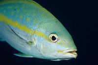 Yellowtail Snapper, Ocyurus chrysurus, Lighthouse Reef, Belize