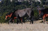 Wild horse grazing at the Pryor Mountain Wild Horse Range in Montana