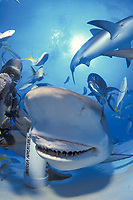 A Caribbean reef shark, Carcharhinus perezii, shows its prehensile jaw during hand feeding session off Grand Bahama