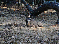 Resting mule deer doe