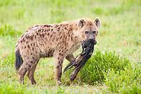 Spotted Hyaena (Crocuta crocuta), with kill, Serengeti, Tanzania, Africa