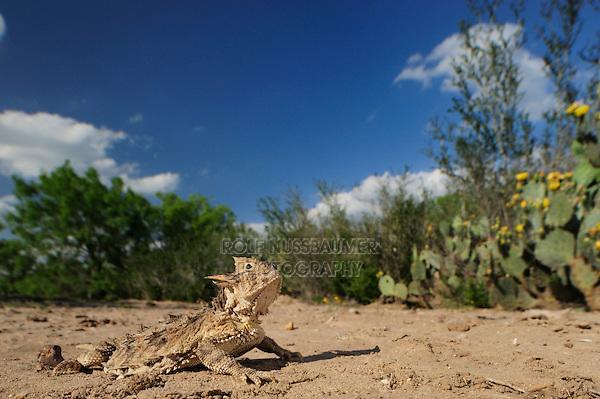 Texas Horned Lizard (Phrynosoma cornutum), adult in desert, Laredo, Webb County, South Texas, USA