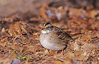 White-throated Sparrow, Zonotrichia albicollis, adult on ground with leaves, Burlington, North Carolina, USA