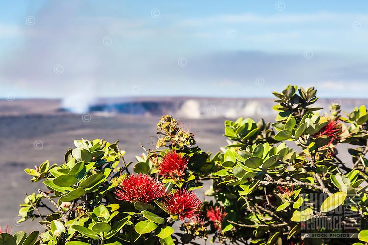 Red 'ohi'a lehua flowers bloom, with Halema'uma'u Crater in the background, Volcano, Island of Hawai'i.
