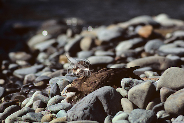 Harlequin ducks--hen with young duckling resting among river rocks near stream.  Pacific Northwest.  June.