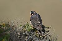 527950046 a wild federally endangered juvenile peregrine falcon falco peregrinus perches on a cliff face along the pacific ocean at torrey pines state preserve la jolla california