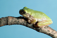 Tree frog in green phase close up