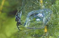 """Wasserspinne, Wasser-Spinne, Silberspinne, mit """"Tauxcherglocke"""", Luftblase unter Wasser, Rückenschwimmer als Beute in der Glocke, Argyroneta aquatica, diving bell spider, water spider, l'Argyronète"""