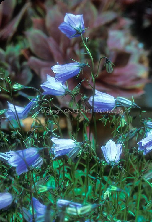 Blue flowers of bellflower Campanula cochlearifolia 'Bavaria Blue'