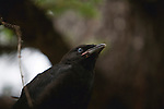 A young crow in a tree