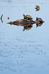 Damon, Texas; several turtles warming themselves on logs, reflecting in the surface of the lake on a late afternoon, blue sky day