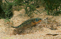 1S30-041z  Three Spined Stickleback - male secreting kidney solution to cement his nest together - Gasterosteus aculeatus