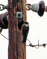 Lewis's woodpecker at night roost hole in utility pole.