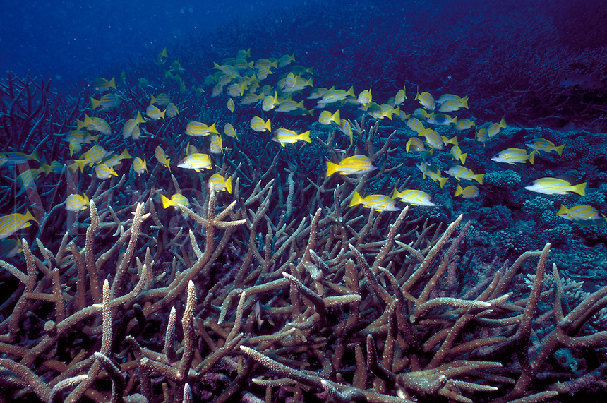 Underwater reef scene - fragile branching corals and yellowtail snapper, coral, tropical fish, marine life. Fragile branching corals and snapper. Seychelles Islands, Seychelles Western Indian Ocean.