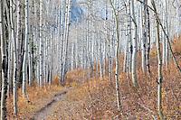Bare aspens, Lead King Basin, Colorado