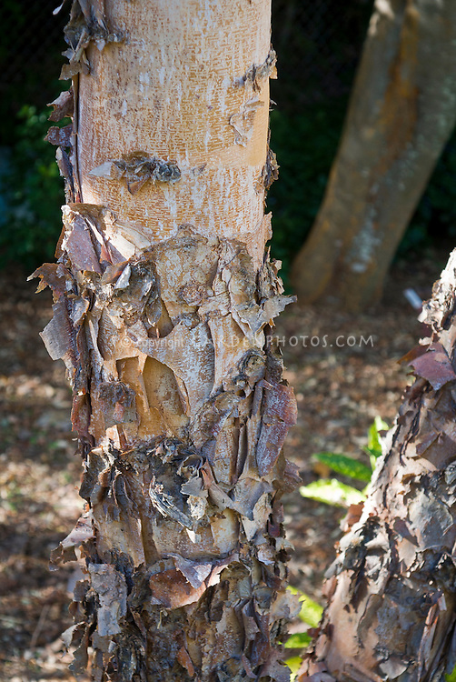 Betula nigra 'Heritage' River Birch tree trunk bark, peeling bark