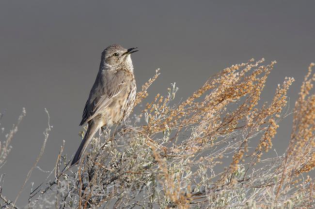 Singing Sage Thrasher (Oreoscoptes montanus). Gunnison County, Colorado. April.