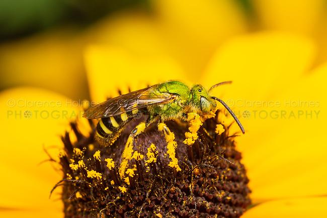 Bicolored Striped-Sweat Bee (Agapostemon virescens) - Male