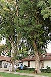 Israel, Eucalyptus tree in Kfar Saba