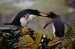 Macaroni Penguins, South Georgia Island
