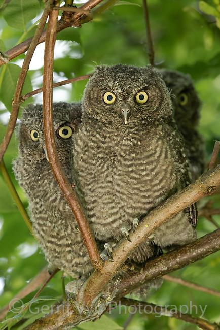 Western Screech-Owl (Megascops kennicottii) fledglings. Multnomah County, Oregon. June.