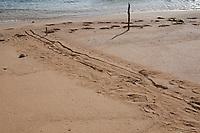 tracks of Hawaiian monk seal, Neomonachus schauinslandi, Critically Endangered endemic species, that has hauled itself up onto beach to rest intersect with human footprints at the shoreline, Larsen's Beach, Moloa'a, Kauai, USA, Pacific Ocean