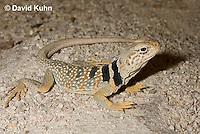0612-1009  Great Basin Collared Lizard (Mojave Black-collared Lizard), Mojave Desert, Crotaphytus bicinctores  © David Kuhn/Dwight Kuhn Photography