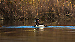 Drake ring-necked duck swimming in a northern Wisconsin lake,