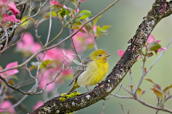 Female Western Tanager in pink dogwood tree.  Pacific Northwest.  Spring.