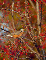 Robin, Turdus migratorius, perched on Zumi Crabapple tree with red berries