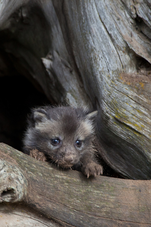 Red Fox kit with dirt on its nose peering out of a den - CA