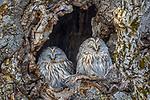 Japan, Hokkaido, Ural owl (Strix uralensis)