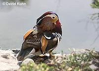 0310-1022  Drake (Male) Mandarin Duck, Aix galericulata  © David Kuhn/Dwight Kuhn Photography.