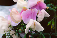 Lathyrus odoratus Pink Cupid, pink and white sweetpea