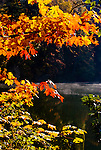 Big Leaf Maple branches extend over steaming lake in fall.