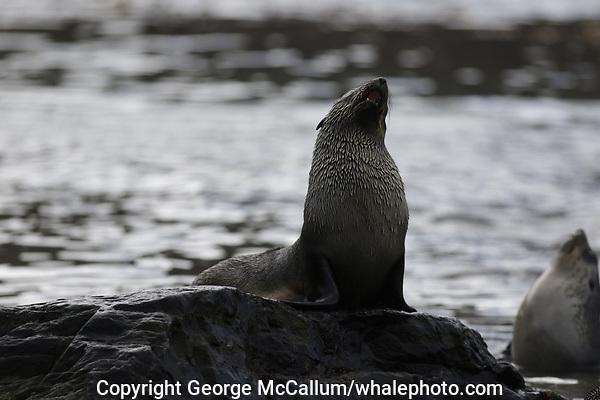 Antarctic Fur seal, Arctocephalus gazella , pups on rock at beach,  Gryviken whaling station South Orkney Islands, Scotia sea Southern Ocean, Antarctica