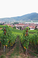 vineyard view to village from brand gc turckheim alsace france