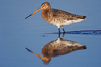Black-tailed Godwit, Limosa limosa, adult in breeding plumage,National Park Lake Neusiedl, Burgenland, Austria, April 2007