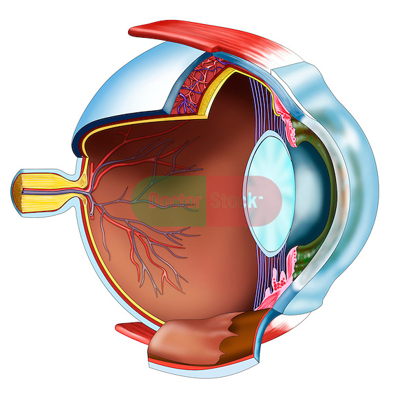 parasagittal section through eye