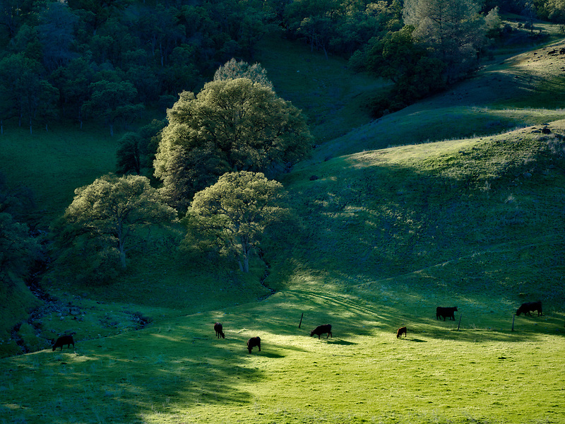 Meadow with cows oak trees and clouds. Bear Valley. Colusa County, California