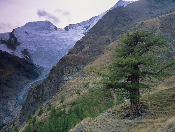 Larch tree and Fee glacier, Saas Fee, Swiss Alps, Switzerland, Europe