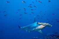 scalloped hammerhead shark, Sphyrna lewini, Galapagos islands, Ecuador (Eastern Pacific Ocean)