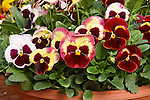 VIOLA WITTROCKIANA 'DELTA PREMIUM TAPESTRY', PANSY