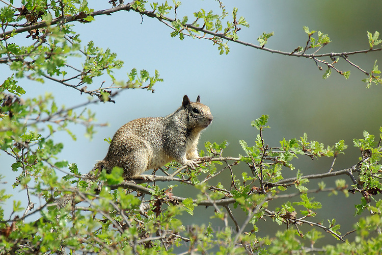 California Ground Squirrel, Sepulveda Wildlife Refuge, Southern California