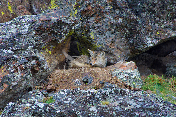 Wild Coyote (Canis latrans) resting while waiting out a rain storm.  Western U.S., Spring.