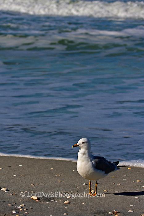 #B99 Ring-Billed Gull On Beach