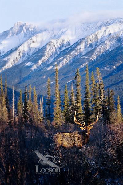 Rocky Mountain Elk (Cervis elaphus) bull, Northern Rockies.  Late Fall.